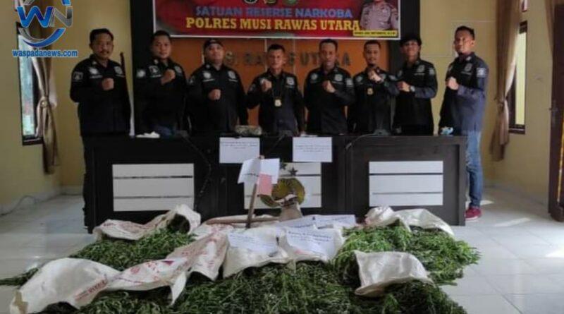 49 Kg Ganja Siap Panen Diamankan Team Satres Narkoba Polres Muratara